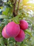 Belles prunes mûres photo libre de droits