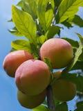 Belles prunes mûres et ciel bleu d'été Photographie stock libre de droits