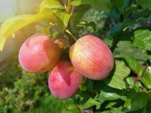 Belles prunes mûres et ciel bleu d'été Photo stock
