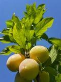 Belles prunes mûres et ciel bleu d'été images libres de droits