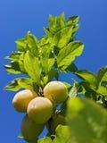 Belles prunes mûres et ciel bleu d'été photo libre de droits