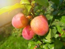 Belles prunes mûres et ciel bleu d'été image stock