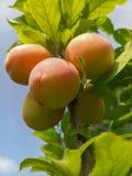 Belles prunes mûres et ciel bleu d'été photographie stock