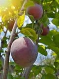 Belles prunes mûres et ciel bleu d'été images stock
