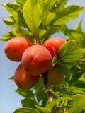 Belles prunes mûres et ciel bleu d'été image libre de droits
