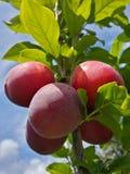 Belles prunes mûres et ciel bleu d'été photos stock