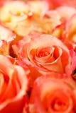 Belles roses Image stock