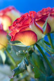 Belles roses Photographie stock