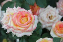 Belles roses Images stock