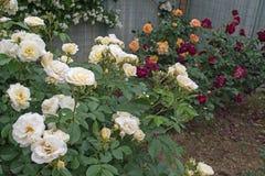Belles roses blanches Concept de tendresse d'amour Photos libres de droits
