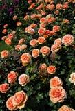 Belles roses colorées de floraison dans le jardin Images libres de droits