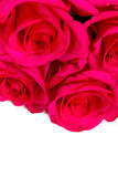 Belles roses d'isolement sur le blanc images libres de droits
