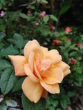 Belles roses dans la couleur jaune, roses jaunes images libres de droits