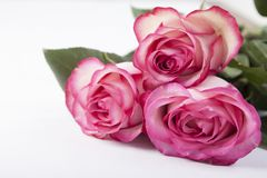 belles roses de fond blanches Photos libres de droits