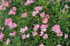 Belles roses en nature image stock