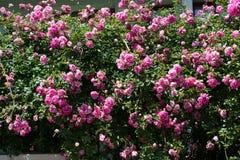 Belles roses en nature photographie stock libre de droits
