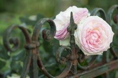 Belles roses roses fleurissant sur une barrière de jardin images stock