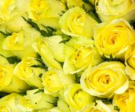 Belles roses jaunes photo stock