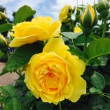 Belles roses jaunes Photographie stock