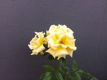 Belles roses jaunes sur le fond gris de mur Photographie stock libre de droits