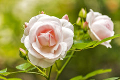 belles roses roses photographie stock