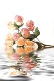 Belles roses roses avec la réflexion de l'eau d'isolement sur le fond blanc Image libre de droits
