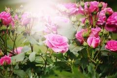 Belles roses roses dans la lumière du soleil Photos stock