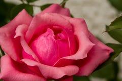 Belles roses roses dans le jardin Photos stock