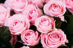 Belles roses roses de fond Photo instantanée modifiée la tonalité Photos stock