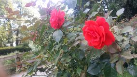 Belles roses rouges Images stock