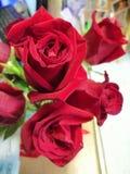 Belles roses rouges bulgares photo libre de droits