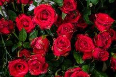 Belles roses rouges fleurissant dans le jardin pour le fond ou le tex Images libres de droits