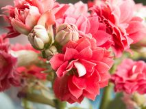 Belles roses roses sur un fond mou images stock