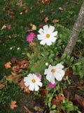 Belles small autumn flowers. Villiers Saint Frédéric - France. Belles small autumn flowers. Villiers Saint Frédéric - France - Photo taken Royalty Free Stock Photography