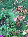 Belles small autumn flowers. Villiers Saint Frédéric - France. Belles small autumn flowers. Villiers Saint Frédéric - France - Photo taken Royalty Free Stock Photo