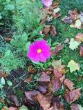 Belles small autumn flowers. Villiers Saint Frédéric - France. Belles small autumn flowers. Villiers Saint Frédéric - France - Photo taken Stock Images