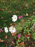 Belles small autumn flowers. Villiers Saint Frédéric - France. Belles small autumn flowers. Villiers Saint Frédéric - France - Photo taken Stock Photos