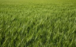Belles têtes de blé au soleil images stock
