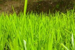 Belles terrasses de riz Image libre de droits
