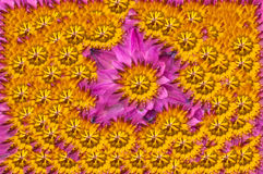 Belles textures roses de lotus Photo stock