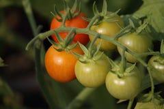 Belles tomates mûres rouges d'héritage cultivées en serre chaude Photos libres de droits