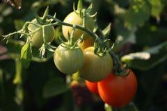 Belles tomates mûres rouges d'héritage cultivées en serre chaude Photographie stock