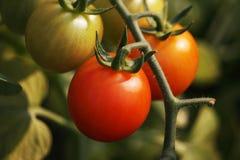 Belles tomates mûres rouges d'héritage cultivées en serre chaude Images stock