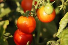 Belles tomates mûres rouges d'héritage cultivées en serre chaude Images libres de droits