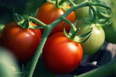 Belles tomates mûres rouges d'héritage cultivées en serre chaude Photo stock