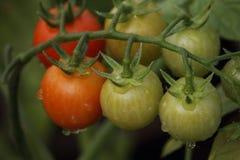 Belles tomates mûres rouges d'héritage cultivées en serre chaude Photos stock