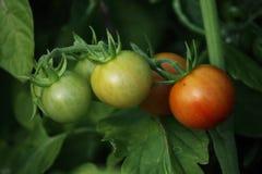 Belles tomates mûres rouges d'héritage cultivées en serre chaude Photo libre de droits