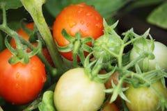 Belles tomates mûres rouges d'héritage cultivées en serre chaude Photographie stock libre de droits