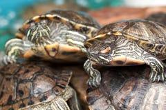 Belles tortues rayées photos libres de droits
