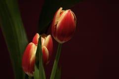 Belles tulipes Photo stock